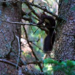 veverița din poiana găujoara
